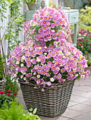 Argyranthemum frutescens 'Blühwunder' (Sommer - Margerite) Formschnitt