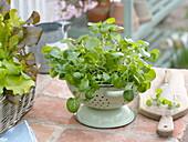 Brunnenkresse (Nasturtium officinale) in Küchensieb gepflanzt