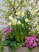 Narcissus 'Minnow' (Narzissen), Primula 'Romance' (Gefüllte Primeln)