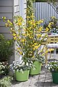 Kerria japonica 'Golden Guinea' (Einfachblühender Ranunkelstrauch)