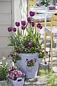 Tulipa 'Negrita' (Triumph - Tulpen), Viola cornuta (Hornveilchen), Rumex