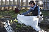 Frau deckt frisch gepflanzten Rettich (Raphanus) , Salat (Lactuca)