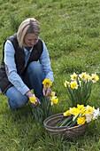 Frau schneidet Narcissus (Narzissen) im Rasen