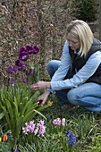 Frau schneidet Tulipa 'Negrita' (Tulpen) im Frühlingsbeet, Hyacinthus