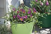 Tulipa humilis 'Violacea Yellow Base' (Wildtulpen) und Vinca 'Bowles'