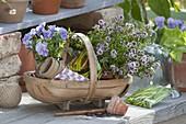 Korb mit blühendem Bohnenkraut (Satureja) und Viola cornuta