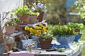 Arbeitstisch mit Bellis perennis (Gänseblümchen), Salat (Lactuca)