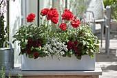 Rot-weiß bepflanzter Kasten : Primula Belarina 'Valentine' (Gefüllte Primeln