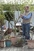 Frau schneidet Datura (Engelstrompete) im Frühling zurück