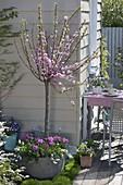 Prunus tribola (Mandelbäumchen) unterpflanzt mit Tulipa 'Lilac Star'