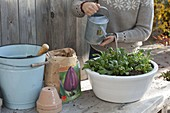 Tulpenzwiebeln und Vergißmeinnicht im Herbst in Schale pflanzen