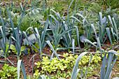 Noun : Porree, Lauch (Allium porrum) und Portulak (Portulaca oleracea)