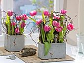 Graue Kästen mit Tulipa (Tulpen) , Rinde als Steckhilfe