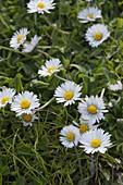 Bellis perennis (Gänseblümchen) im Rasen