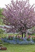 Malus 'Paul Hauber' (Zierapfelbaum), Baumscheibe mit Myosotis