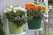 Tulipa 'Arctic' 'Orange Princess' (Tulpen), Thymian (Thymus),