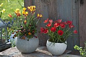 Tulipa clusiana var. chrysantha (Damen-Tulpen) und linifolia