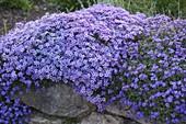 Phlox subulata 'Violet Seedling' (Teppichphlox) und Aubrieta (Blaukissen)