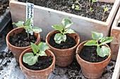 Jungpflanzen von Thunbergia alata (Schwarzäugiger Susanne) in Tontöpfen