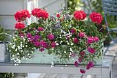 Frau bepflanzt Balkonkasten mit Pelargonium zonale Classic 'Atlantis'