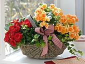 Begonia elatior (Blüh-Begonien) und Hedera (Efeu) in Korb