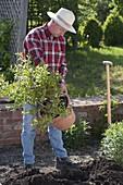 Mann pflanzt Heidelbeere mit Torf ins Beet