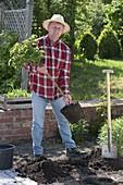 Mann pflanzt Rosenstämmchen ins Beet