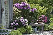 Rhododendron 'Catawbiense Boursault' , yakushimanum 'Silberwolke'