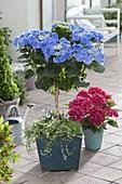 Hydrangea 'Blaumeise' (Hortensien - Stamm) unterpflanzt mit Euonymus
