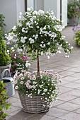 Solanum jasminoides (Jasmin-Nachtschatten) im Korb unterpflanze mit Achillea