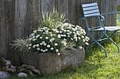 Granit - Trog bepflanzt mit Argyranthemum 'Stella 2000' (Margeriten), Holcus