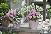 Petunia Bingo 'Pink Morn' (Petunien), Achillea ptarmica 'Gypsy White'