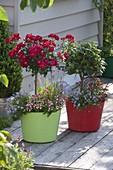 Bunte Plastik-Bottiche bepflanzt mit Rosa (Rosen - Stämmchen), Lorbeer