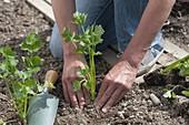 Stangen-Sellerie ins Beet pflanzen
