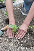 Zinnien ins Beet pflanzen