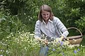 Frau erntet Blüten von Matricaria chamomilla (Echte Kamille) für Tee