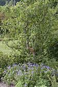 Geranium pratense 'Johnson's Blue' (Storchschnabel)