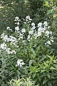 Hesperis 'Alba' (weiße Nachtviole) bringt Helligkeit in den Schatten und duft