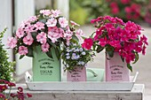 Impatiens Neu-Guinea Compact 'Blush Pink' rosa, 'Margenta' pink