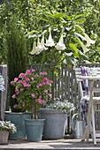 Balkon mit Datura (Engelstrompete) unterpflanzt mit Lobelia