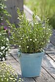 Gratiola officinalis (Gottesgnadenkraut), Sumpfpflanze
