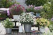 Agyranthemum 'Stella 2000', 'Meteor Red' 'Molimba Yellow' 'Pomponette Pink'