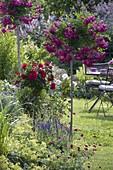 Rosen-Stämmchen im Beet : Rosa 'Super Excelsa' 'Rotilia' (Rosen), Knautia