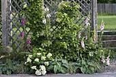 Halbschatten-Beet mit Hydrangea petiolaris (Kletterhortensie) an Rankgitter