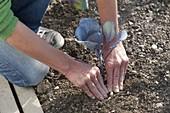 Rotkohl ins Beet pflanzen