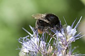 Hummel , Steinhummel (Bombus lapidarius) auf Phacelia (Bienenfreund)
