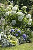Schattenbeet mit Hortensien und Stauden : Hydrangea arborescens