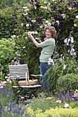 Frau schneidet Blüten von Rosa 'Kir Royal' (Kletterrose)