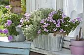 Mini-Blechkasten mit Pelargonium pac Angeleyes 'Light' (Engelsgeranie)