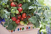Tomaten 'Balkonstar' (Lycopersicon) im Topf